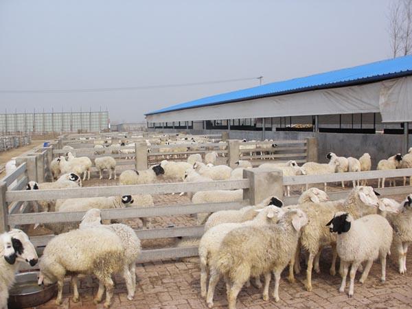 小尾寒羊种羊